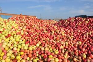 яблоки свежие плодопитомник Батыревский